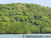 Mangrove swamp-Koh-Tan